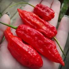 Ghost-Peppers